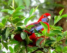 cropped-lilydale-high-dining-crimson-rosella-feb-2017-img_5899.jpg