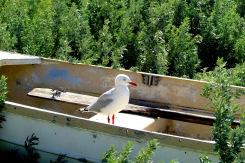 Flinders Killiecrankie gull in boat IMG_6205