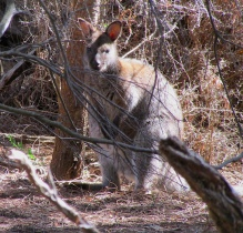 Flinders wallaby a IMG_6122