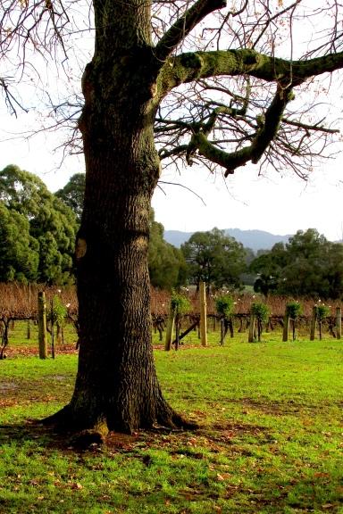 Five Oaks vineyard