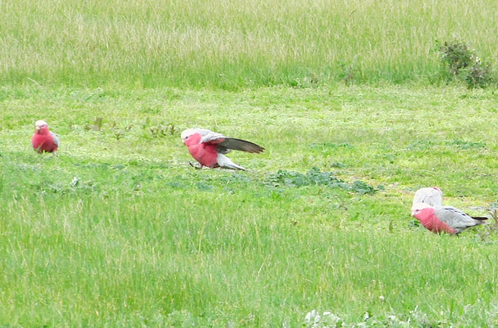 Coldstream galah landing 2 Sept 2017