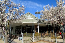 Shepparton mall tree blossoms 1 Sept 2017