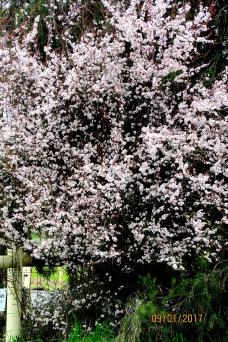 Shepparton spring blossoms 1 Sept 2017