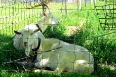 Yarra Valle Dairy bearded goats Nov 2017