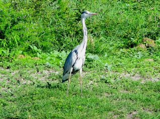 Feb 2018 Tau grey heron eyes