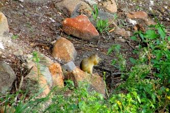 Feb 2018 Tau ground squirrel a1