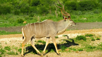 Feb 2018 Tau kudu waterhole outside room