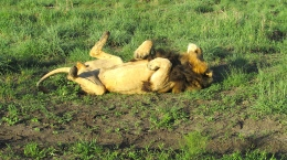 Feb 2018 Tau morning safari lion rolling vit D rays