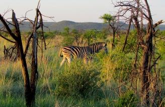 Feb 2018 Tau morning safari undercover zebra