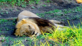 Feb 2018 Tau morning safari young lion dead to the world