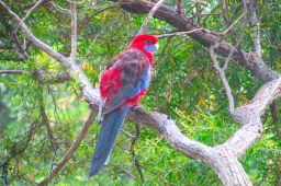 Lilydale bedroom window crimson rosella a1 Jan 2018
