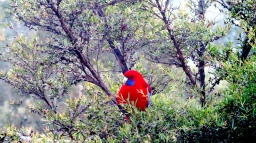 Lilydale crimson rosella at window a1 June 2018