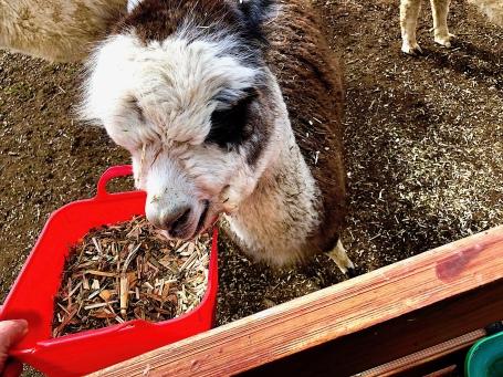 Alpaca face Omaru Aug 2018