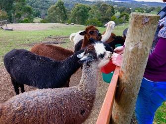 Alpaca hand feed Omaru Aug 2018