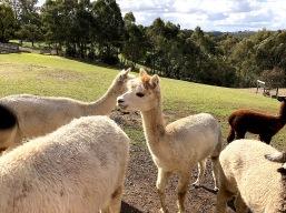 Alpaca pretty face Omaru Aug 2018