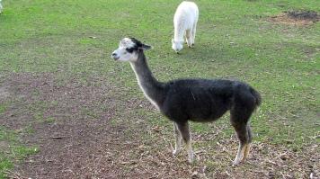 Alpaca stud grey and white 2 12 Aug 2018
