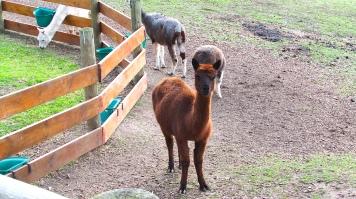 Alpaca stud hot chocolate brown 12 Aug 2018