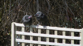Lilydale garden crow feeding mom Oct 2018