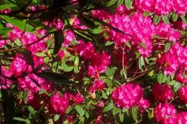Lilydale garden Oct 2017 spring rhododendron closer a1