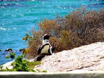 Cape Boulders African penguins noisy Feb 2019