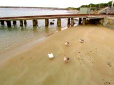 Apollo Bay port gaggle geese 30 Apr 2019