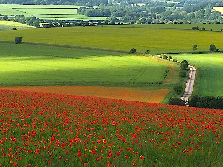 Lower Pertwood Farm Wilf Poppies 2 June 2017