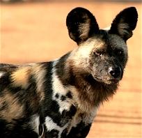 Tau 2012 wild dog