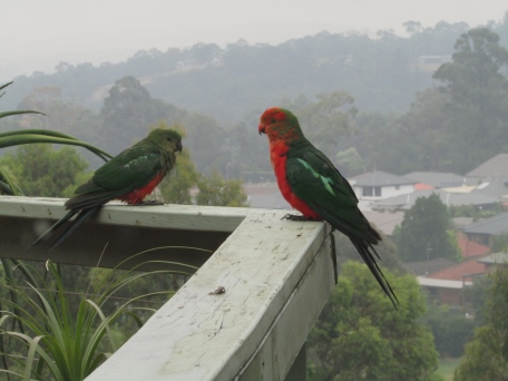 Lilydale young king parrots on deck 6 Jan 2020