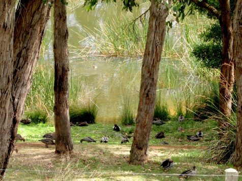 Duck pond at Green Olive Red Hill Mornington Pen Feb 2020IMG_3159 copy